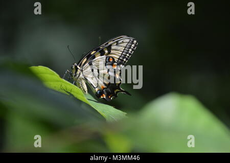 A yellow and orange butterfly sitting on a green leaf with a blurry green leaf in the foreground. - Stock Photo