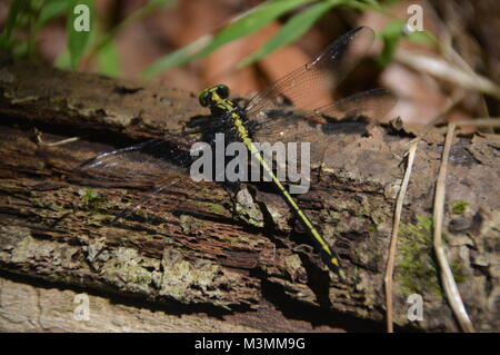 A green and black Dragonfly on log with some greenage in the background of the picture. - Stock Photo
