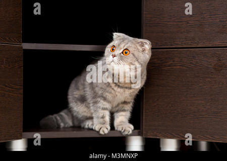 Cat of the breed Scottish Fold looks out of the closet with an inquisitive look - Stock Photo