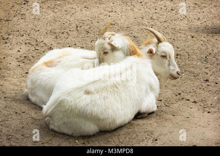 Two young yellowish goats rest on the sand - Stock Photo