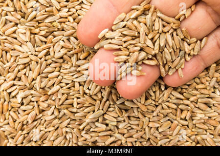 Secale cereale is scientific name of Rye cereal grain. Also known as Centeio (portuguese) and Centeno (spanish). - Stock Photo