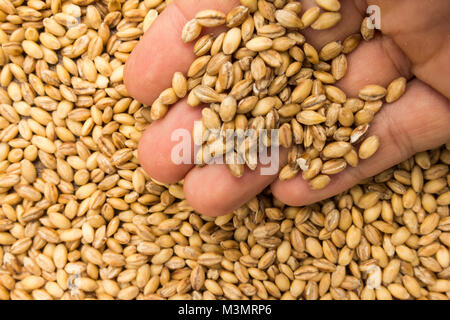 Hordeum vulgare is scientific name of Barley cereal grain. Also known as Cevada (portuguese) and Cebada (spanish). - Stock Photo