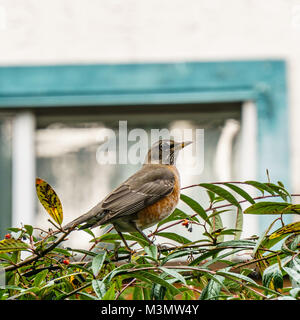 American Robin Perched on a bush Branch Against bright Background. - Stock Photo