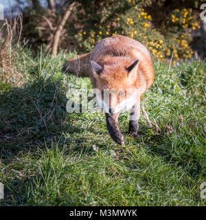 Fox (Vulpes vulpes) Running - Stock Photo