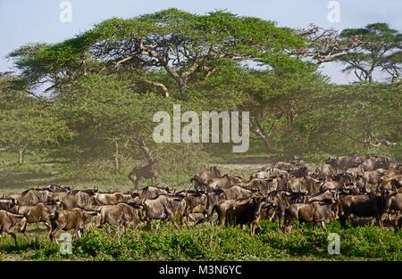 Herd of wildebeest gathering for great migration under umbrella acacia trees on Serengeti Plains of Tanzania. - Stock Photo