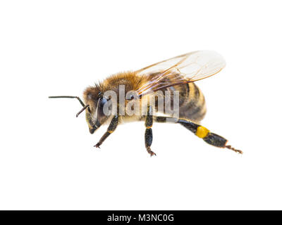 Honeybee Insect Isolated on White - Stock Photo