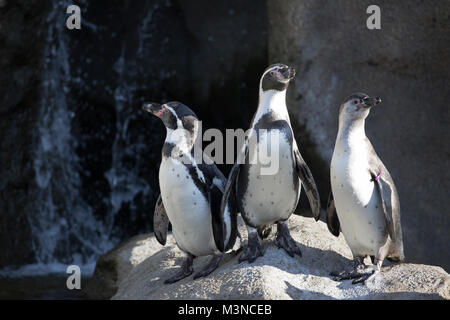 Humboldt Penguins (Spheniscus humboldti) in zoo habitat - Stock Photo