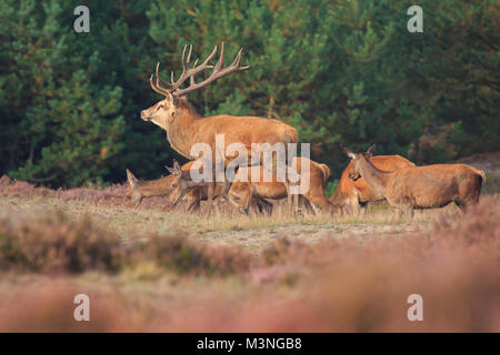Red deer Cervus elaphus stag with big antlers during rutting season in heathland with a dark forest on the background. - Stock Photo