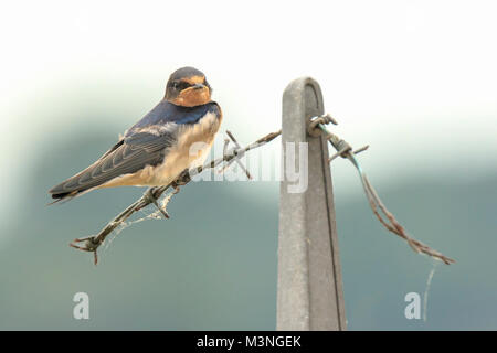 Closeup of a Barn Swallow (Hirundo rustica) resting after hunting on barbwire. This is the most widespread species - Stock Photo