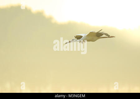 Stork Ciconia ciconia in flight landing on a wet meadow during a foggy summer morning. The sunrise is set above - Stock Photo