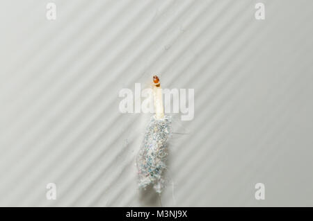 meal moth, Pyralis farinalis, on a white bathrrom tile - Stock Photo