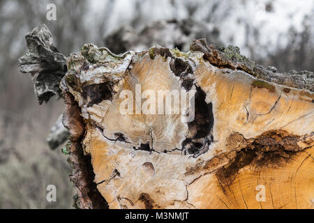Close-up of a tree trunk with decorative bark on the edge. Beautiful view of wooden texture of the log in a cut - Stock Photo