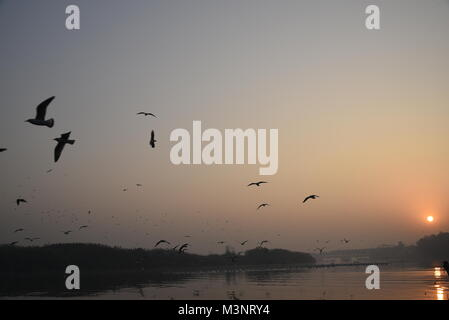 Migratory hundreds of Siberian Seagull birds are flying in the morning with sunrise at Yamuna Bank river, Delhi, - Stock Photo