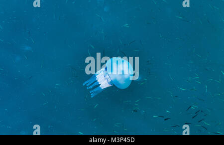 Beautiful glowing blue jellyfish in blue water sea with little fish background - Stock Photo