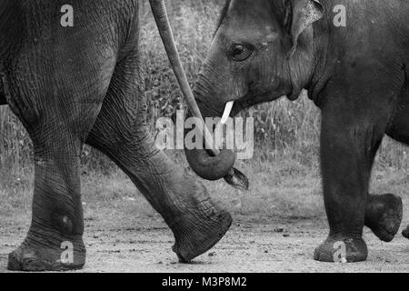 Asian Elephants walking in line, one elephants trunk holding another's tail at ZSL Whipsnade Zoo - Stock Photo