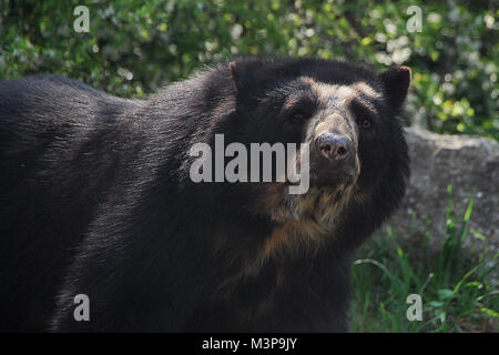 black bear from the zoo looks into the camera - Stock Photo