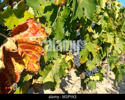 Field with vineyards in Logroño, in the Spanish region of La Rioja, famous for its production of red wine. La Rioja - Stock Photo