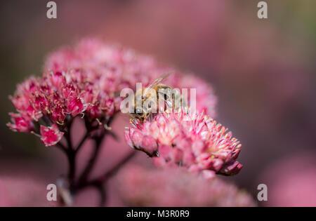 Honey bee on pink flower soft focus - Stock Photo