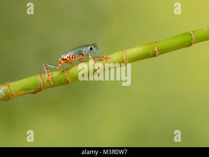 Little frog walking up bamboo - Stock Photo