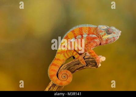 Chameleon on a studio background - Stock Photo