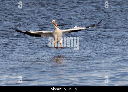 American white pelican (Pelecanus erythrorhynchos) landing on water, Mississippi river, Iowa - Stock Photo