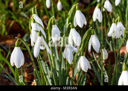 Detail of a Group of Wild Snowdrops (Galanthus nivalis) in a North Devon Wood. Great Torrington, Devon, England. - Stock Photo