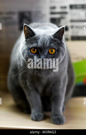 Portrait of a blue British cat at home. - Stock Photo