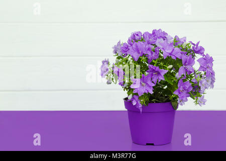 violet flower in a pot on a violet table - Stock Photo