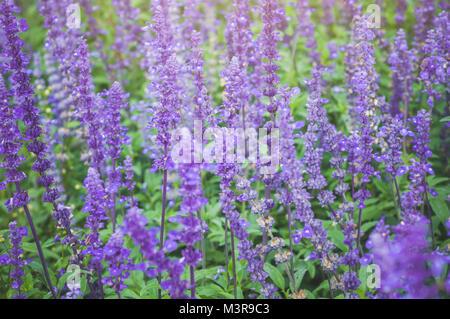 Purple Lavender background blooming. Lavandula angustifolia, Lavandula officinalis - Stock Photo