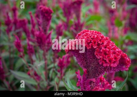 Red Chinese Wool Flower close up garden background outdoor, Celosia argentea L. var. cristata (L.) Kuntze - Stock Photo