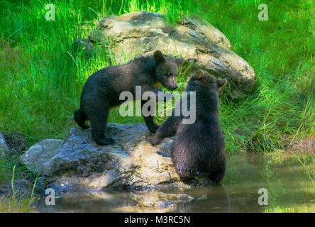 Wild brown bear cubs playing in the Bavarian Forrest - Stock Photo