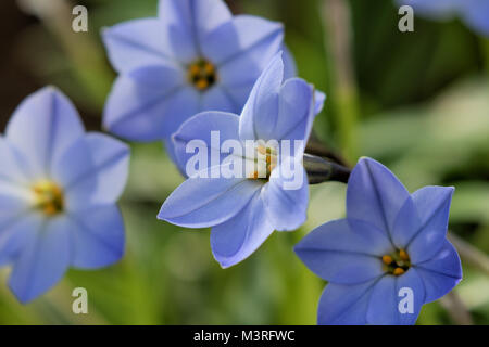 Pale Blue Ipheion uniflorum 'Rolf Fiedler', commonly known as 'spring starflower' - Stock Photo
