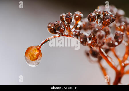 Close up of a withered climbing Hydrangea flower petal with a coating of ice from freezing rain, like an ice bead, - Stock Photo