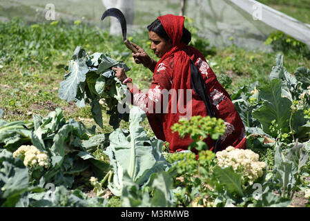 Woman working in Cauliflower field, himachal pradesh, India, Asia - Stock Photo