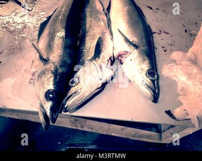 Freshly caught Coalfish on  plastic  table board with other catches. The fish last opening his mouth and gasped. - Stock Photo