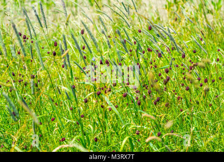 sunny colorful closeup shot of dense wildflower including lots of great burnet flowers at summer time time - Stock Photo