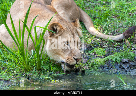 Lion takes a drink from the waters edge - Stock Photo