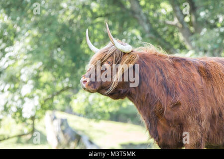 Close up side view magnificent Highland cow (bull) standing in sunlit meadow looking grumpy, long fringe & blonde - Stock Photo