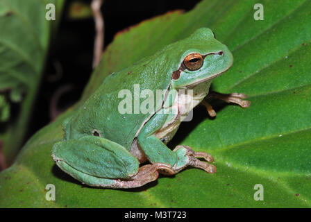 little green frog sitting on a green leaf in the sun - Stock Photo