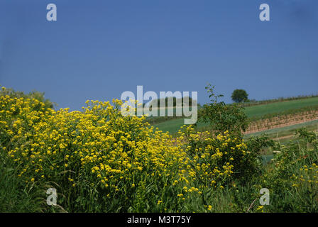 vineyard in the natural spring - Stock Photo