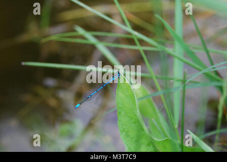 small blue dragonfly sitting on leaf on pond - Stock Photo