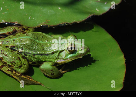 green frog sitting on lily pad in the pond - Stock Photo