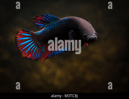 Common male betta fish - Stock Photo