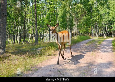 Red deer (Cervus elaphus), Female (hind), runs along country road - Stock Photo