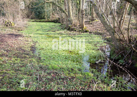 Wild watercress, Nasturtium officinale or Rorripa nasturtium-aquaticum, growing in stream, Sutton, Suffolk, England, - Stock Photo