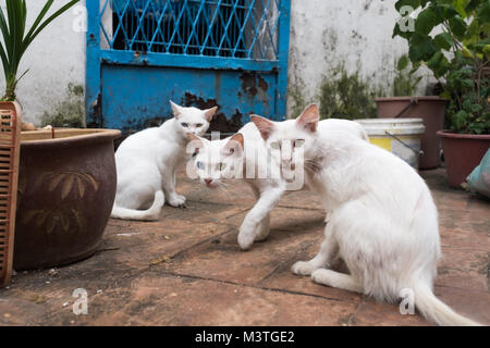 Three white cats sitting on street. Two of them has heterochromia. Focus on central animal - Stock Photo