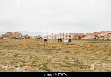 Herd of donkeys moving to new pastures on the rocky marshy plains of southern Bolivia - Stock Photo