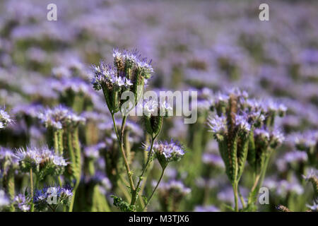 Purple nectar-rich flowers of Phacelia tanacetifolia, also called Lacy Phacelia and Purple Tansy, which is used - Stock Photo
