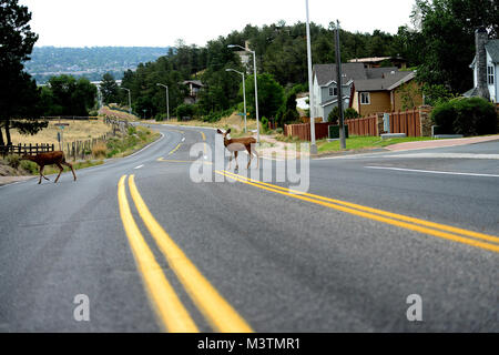 A couple of deer cross the road of an evacuated neighborhood in the Mount St. Francis area of Colorado Springs, - Stock Photo