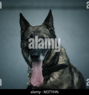 Name: Zoltan Where they are from: Joint Base McGuire-Dix-Lakehurst Reason for visiting: Military Working Dog  (U.S. - Stock Photo